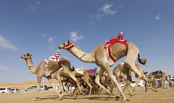 <h2>Nicht nur schön, auch ganz schön schnell!</h2> Es sieht so bequem aus, wenn die einhöckrigen Wüstenschiffe durch die Dünen ziehen. Bei Kamelrennen nehmen die Vierbeiner jedoch gehörig Tempo auf. Bis zu 40 Stundenkilometer schnell jagen sie über den Wüstensand. Ehemals von Kinderjockeys geritten, halten nun kleine Roboter die Kamele auf Trab. Die auf dem Rücken der Tiere befestigten Maschinen, lassen eine Peitsche rotieren und halten so das Renntempo hoch. <br> (Foto: Getty)
