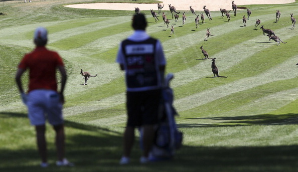 Gerngesehene Besucher. Wenn die Kängurus den Golfplatz bei der ISPS Handa Women's Australian Open stürmen, gibt es die ein oder andere Unterbrechung. (Foto: Getty)