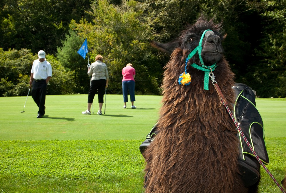 Lama auf dem Golfplatz