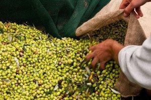 Olivenernte an der Costa Navarino