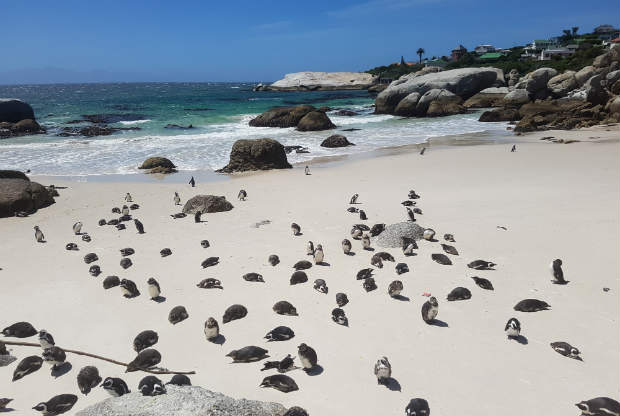 Pinguine in Simon`s Town. (Foto: Kai Wunner)