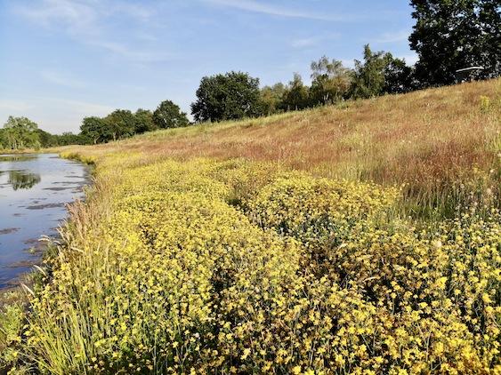 Blühendes Rough: Wildblumen für Bienen und andere Insekten. Foto: Green Eagle Golf Courses